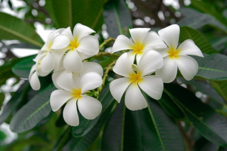 Branch of tropical flowers frangipani for Spa   aromatherapy