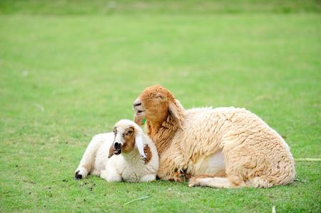 sheep and lambkin
