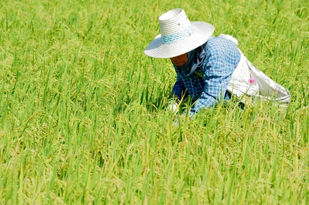 rice plantation with women working,Thailand