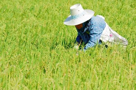 allepey: rice plantation with women working,Thailand