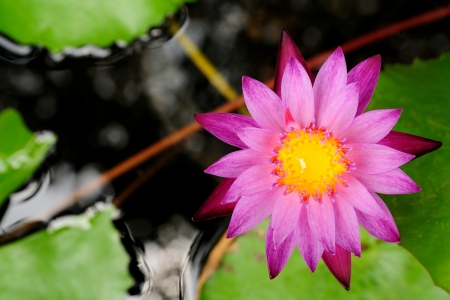 lotus is logo of spa and buddhism in asia