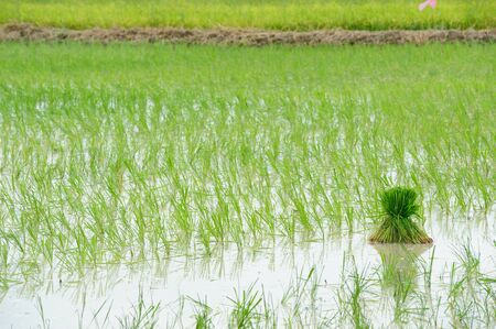 Steps rice field of Thailand   photo