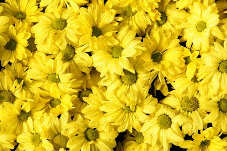 yellow daisy flower,background of the flowers