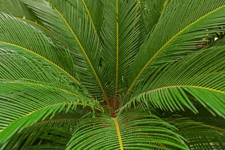 cycas: Leaves of palm tree