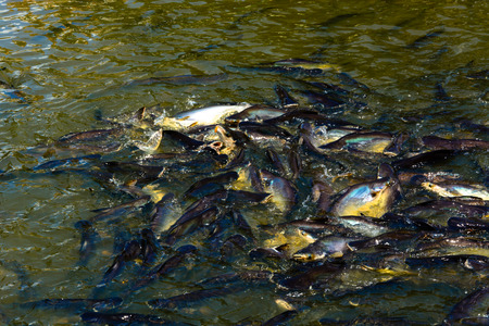 high def: The group pangasius fish are compete for food