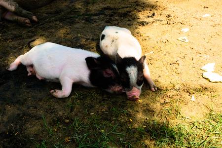 piglets: two miniature piglets resting in grass