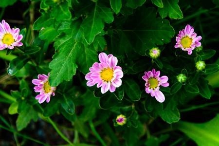 daisywheel: Beautiful small camomile in the garden