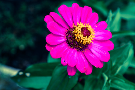 clustered: Pink Cineraria in the garden