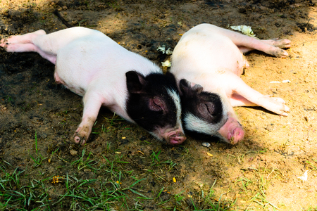 piglets: two miniature piglets resting in grass