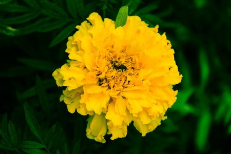 garden marigold: Marigold yellow in the garden Stock Photo