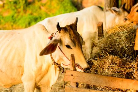 rancheros: vacas en la granja peque�a en el campo de Tailandia Foto de archivo
