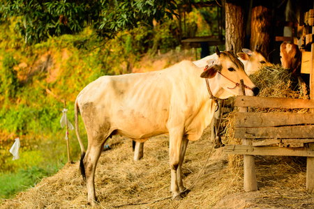 rancheros: cows at small farm in countryside of thailand