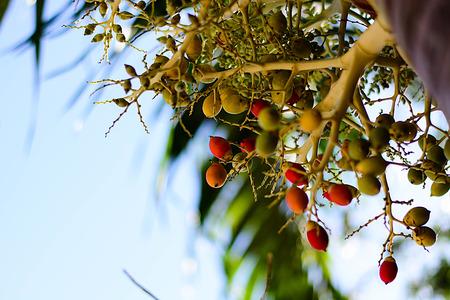 betel: Betel nut palm or Betel Nuts on tree