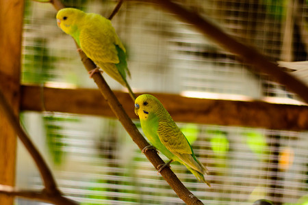 male animal: Cute colorful budgies in cage, outdoors