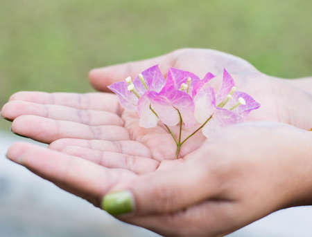 recently: Woman cradling recently bloomed White and purple Bougainvillea flowers Stock Photo