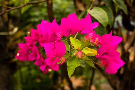 color bougainvillea: Sweet color Bougainvillea in soft color and blur style for background Stock Photo