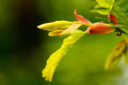 tamarindo: Las hojas de tamarindo