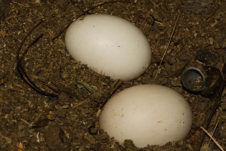 pato real: �nade real Jerarqu�a con los huevos