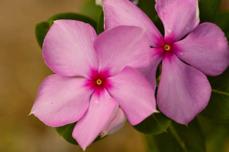 five petals: The pink flower on green leaves in spring Stock Photo
