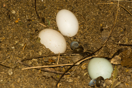 pato real: Mallard Duck Nest with eggs