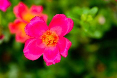moist: Common purslane pink flowers on a background of green leaves. And conveys the moist soil