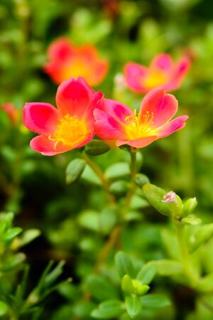 conveys: Common purslane pink flowers on a background of green leaves. And conveys the moist soil