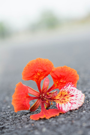 dropped: Big Flame tree blossom that dropped on the black asphalt road