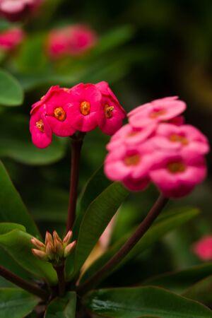 poi: Pink Poi Sian flowers
