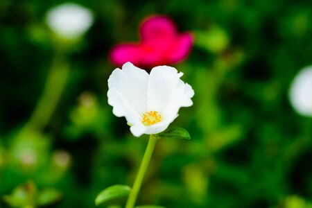 conveys: Common purslane white flowers on a background of green leaves. And conveys the moist soil Stock Photo