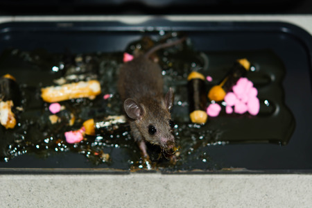 stride: Glue mousetrap with bait food is make rat small duped