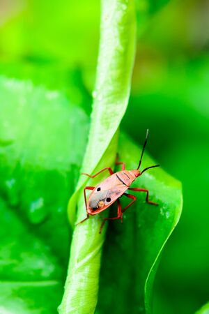 insect on leaf: Small red insect on a green leaf