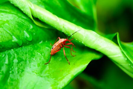 leaf insect: Small red insect on a green leaf