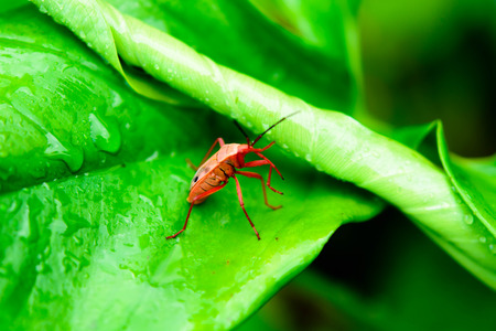 milkweed: Small red insect on a green leaf