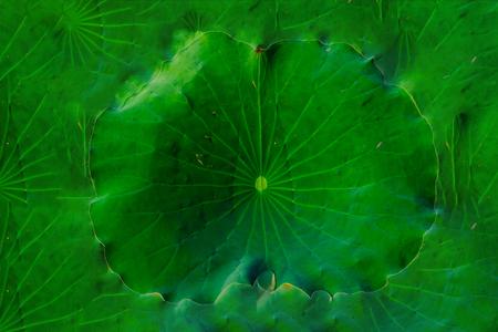 Large Green Lotus Leaf