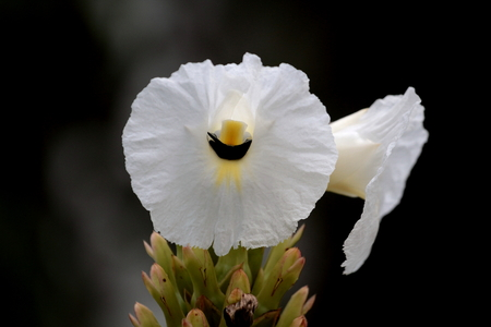 Carpenter  bees in the cave flower photo