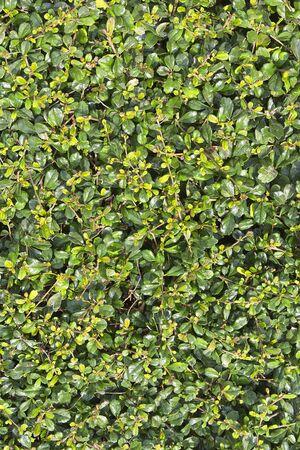 Green leaves wall texture background Fukien Tea tree, Philippine Tea tree, Scorpionbush tree, EHRETIACEAE photo