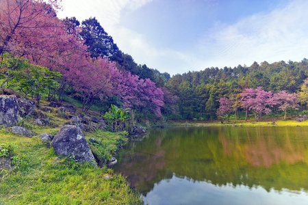 Lake and Pink sakura blossom flower Forest, landscape in thailand photo