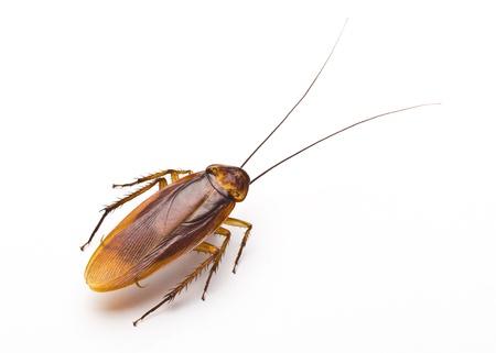 Close-up kakkerlak geïsoleerd op witte achtergrond Stockfoto