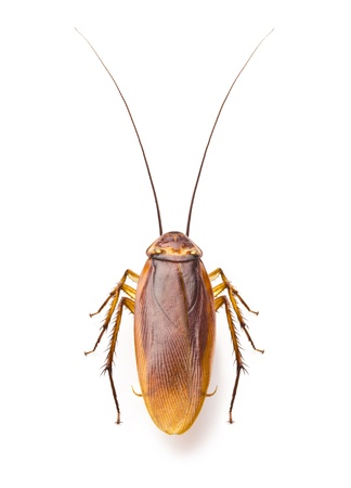 Close up cockroach isolated on white background 版權商用圖片