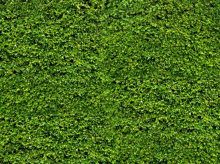 Natuurlijke verse groene blad muur, eco-vriendelijke achtergrond en textuur Stockfoto