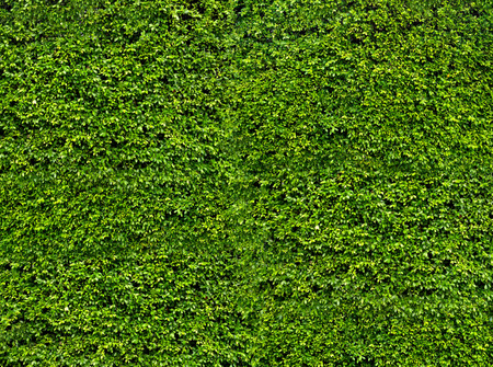 Natural fresh green leaf wall, eco friendly background and texture