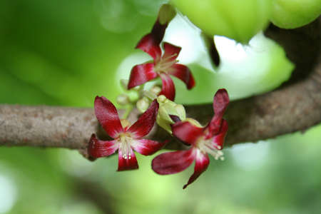 bilimbi: bilimbi flower Stock Photo