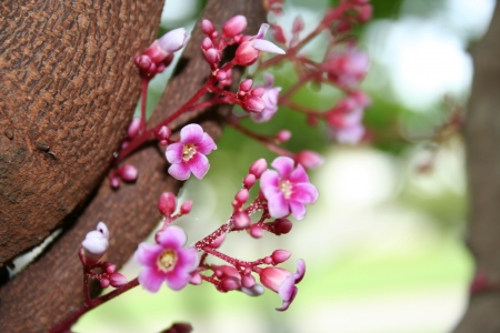 carambola: Carambola Flower  Stock Photo