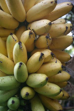 Banana Stock Photo - 17344460
