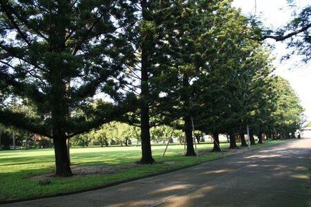 sylvan: sylvan Pine tree