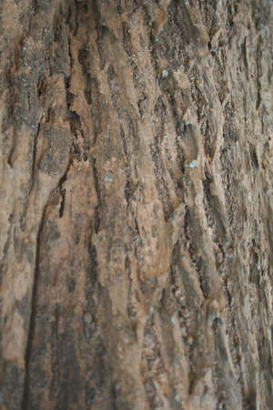Bark pink trumpet tree