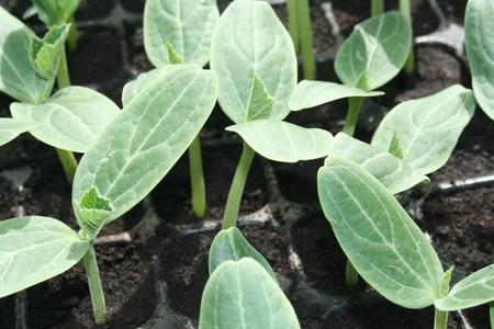 cucurbit: cucurbit seedling Stock Photo