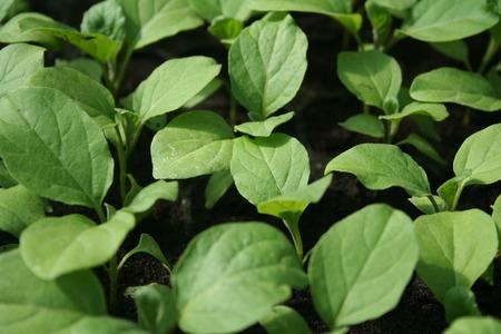 Eggplant seedling