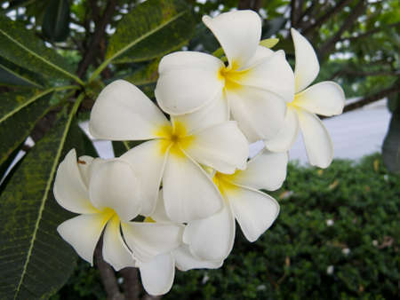 white flower which most of Thais house have. Stock Photo