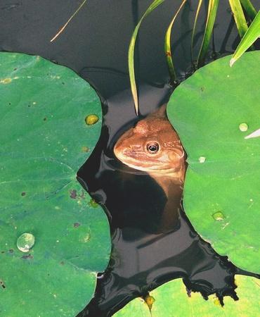 lotus leaf: Frog under lotus leaf